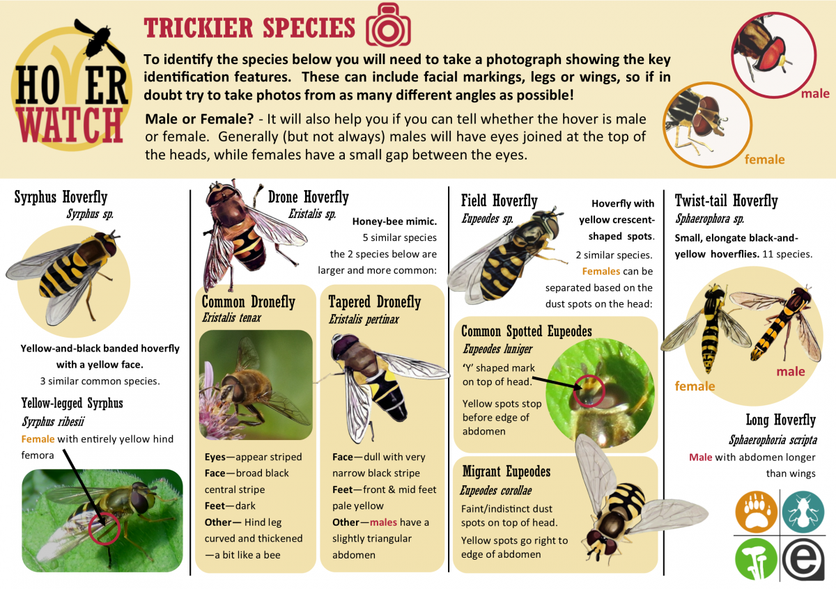 Hoverfly ID Guide HW02