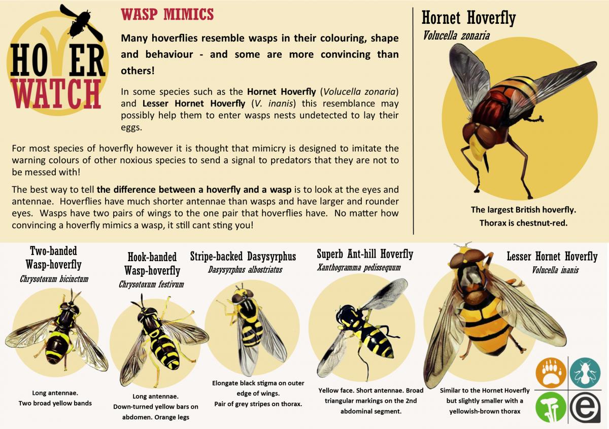 Wasp Mimics