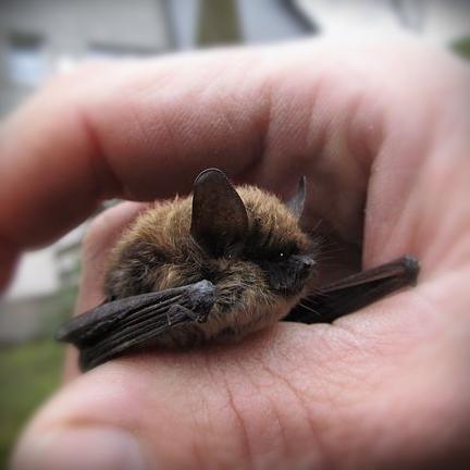 Whskered Bat